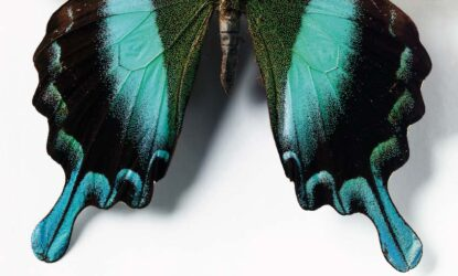 The vivid blue and black wings of a butterfly.
