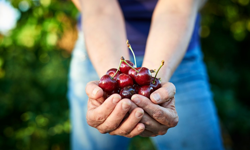 Can you really make $400 a day picking cherries?