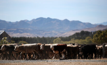 Beef cattle at a farm in North Canterbury