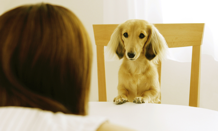 Young Woman Looking At Miniature Dachshund Sitting On Chair