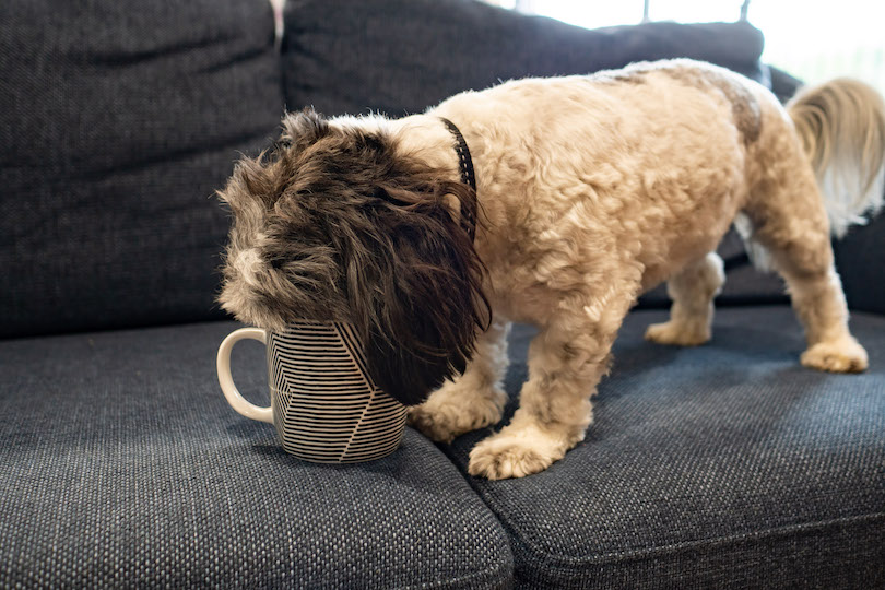 stanley the dog drinking oat milk out of a mug