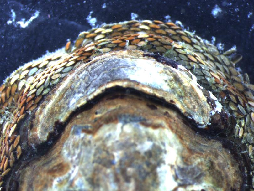 closeup of snakeskin chiton head and shell