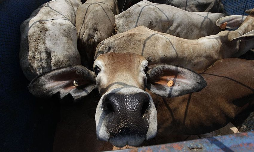 Cattle Imports Arrive in Indonesia from Australia