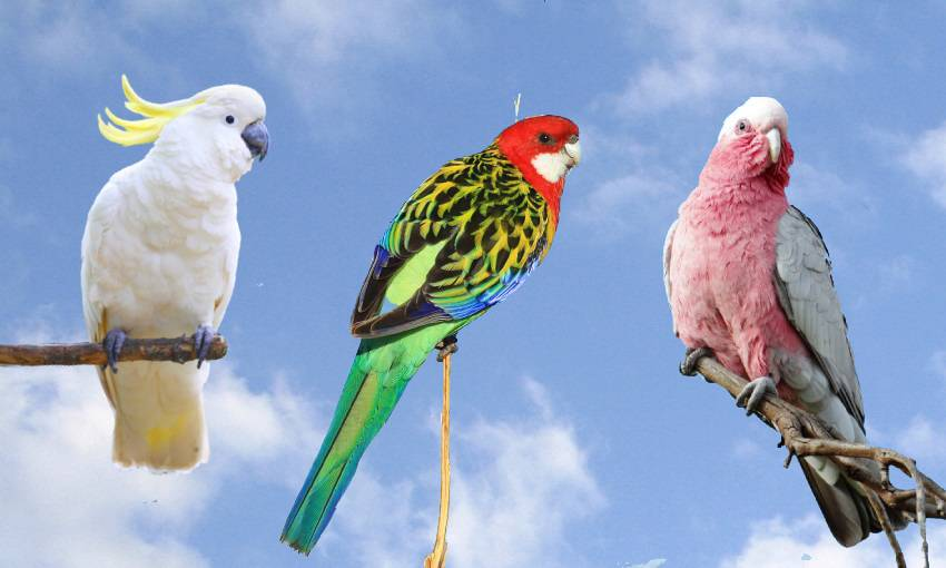 a sulphur crested cockatoo, an eastern rosella, and a galah against a blue sky background