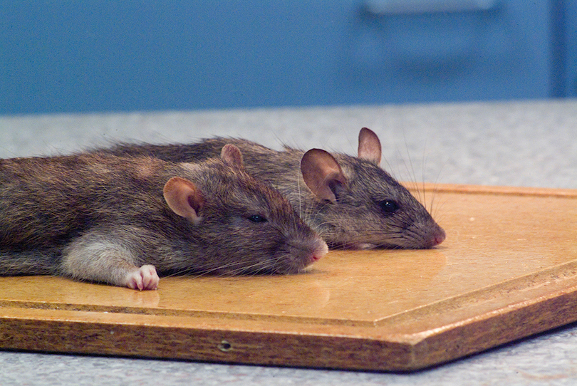 A photo of two dead rats, the front one larger and generally thicker-looking than the other