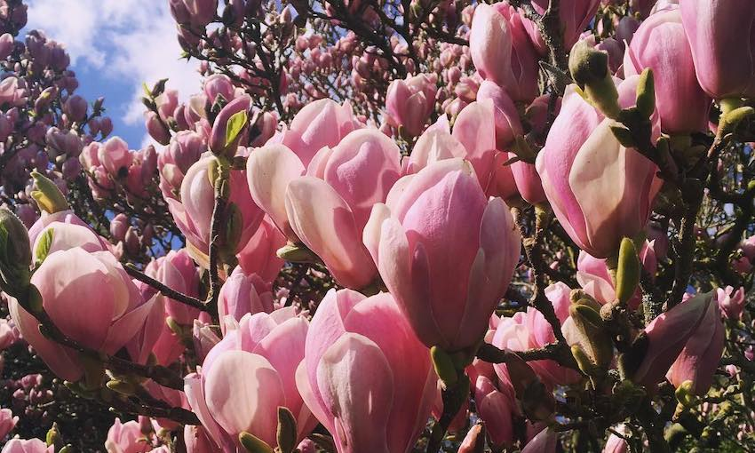 Bright pink tulip-shaped magnolia blooms, masses of them, against a blue and white sky